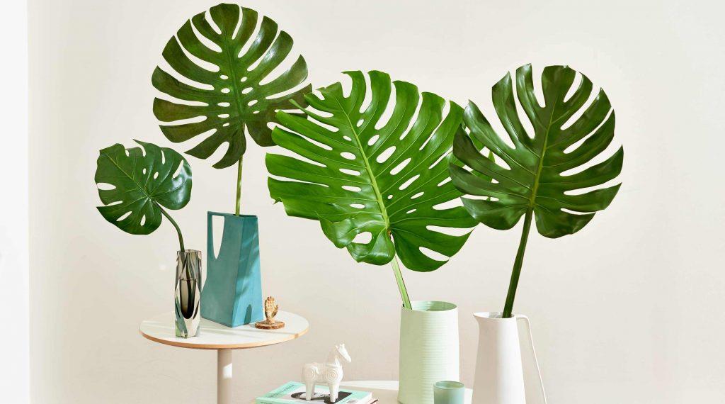 برگ انجیری از گیاهان آپارتمانی