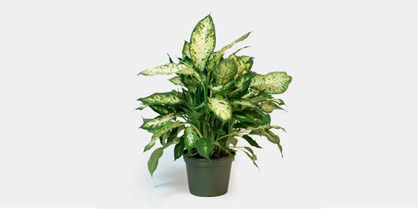 دیفانباخیا از گیاهان آپارتمانی