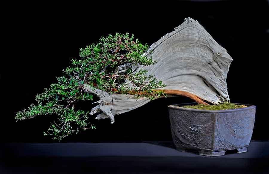 درخت بونسای